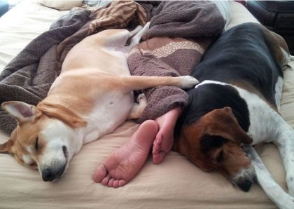 dogs-in-bed