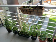 Balcony-Veggies