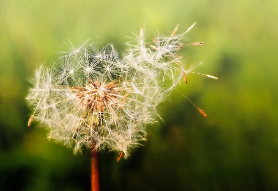 Dandelion - Blowing Away